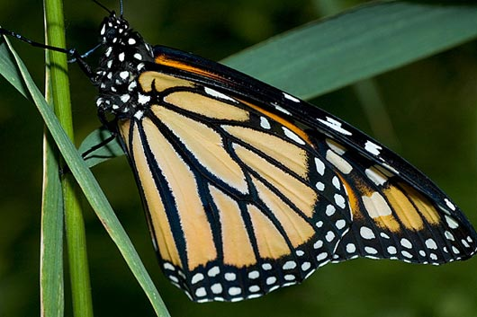 State Monarch Butterfly